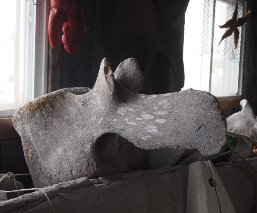 moose or whale vertebrae