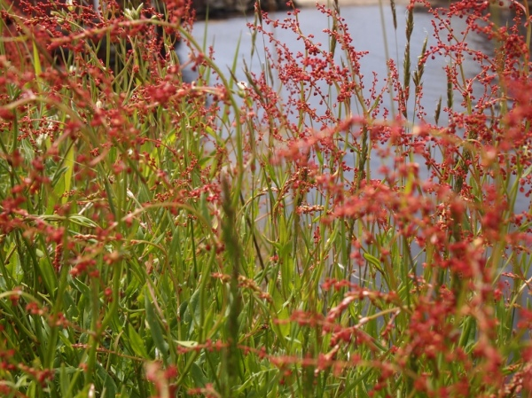 fire weeds